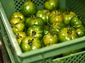 Green tomatoes in a green crate