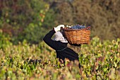 Picker carrying a basket of Pais grapes in vineyard of Lomo de Cauquenes. Maule Valley, Chile.