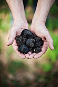 Hands holding black truffle mushrooms