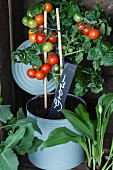 Tomato plant growing in large tin can with plant label