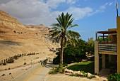 Date palms at the Ein Gedi kibbutz