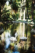 The swans Tristan and Isolde in the garden of Villa Tasca in Palermo, Sicily