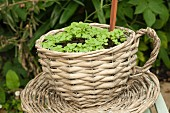 Radish seedlings growing outside in a basket shaped like a teacup
