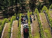 Traubenernte für Greywacke Sauvignon Blanc auf dem Weingut Yarrum, Weinberg Ben Morven (Marlborough, Neuseeland)