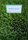 Schild mit der Aufschrift Barley Grass inmitten von Gerstengras