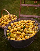 Freshly picked quinces in a basket and a zinc tub