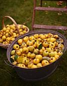 Frisch gepflückte Quitten in Korb und Zinkwanne