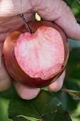 Ein angebissener Apfel 'Weirouge', Südtirol