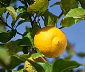 A lemon on a tree (close-up)