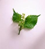 Schwarznessel, zwei Blätter und Blüte