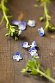 Speedwell flowers