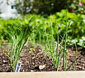 Spring onions in a vegetable patch