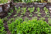 Vegetables and herbs in a vegetable patch
