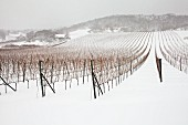 A vineyard in the winter with snow (Austria)