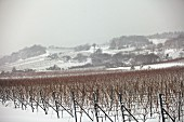 Vineyards in the winter snow (Austria)