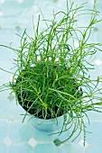 Green Santolina in a pot