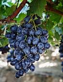 Trauben im San Joaquin Valley, Kalifornien