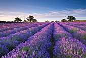 A lavender field at dawn, Somerset, England