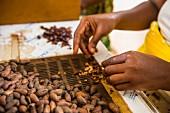 Frau beim Entfernen von Kakaobohnenschalen, Plantage Roca Monte Cafe, Sao Tome, Afrika