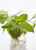 Fresh mint in a glass of water