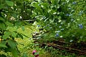 Mit geflochtenem, niedrigem Weidenzaun begrenztes Beet mit blauen und weissen Sommerblumen