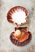 An open scallop shell
