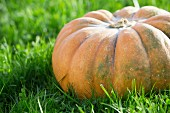 A giant pumpkin on grass