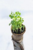 Pea sprouts in a plant pots on a piece of wood