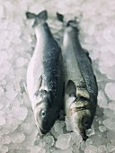 Two fresh sea bass on ice