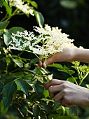 A person cutting elderflowers