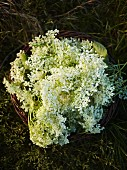 Freshly picked elderflowers in a wicker basket