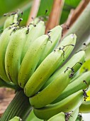 Green bananas growing in Tanzania, Africa (close-up)