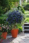 Enzianbäumchen (Solanum Rantonnetii syn. Lycianthes) und Lantana (Wandelröschen)