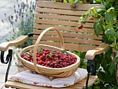 Basket of freshly picked raspberries on garden chair