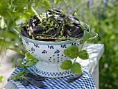 A colander of freshly picked Blauwschokker peas