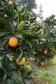 Orange trees in Sicily (close-up)