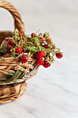Wild strawberries on sprigs in a wicker basket