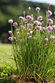 Blossoming Chives Growing Outdoors