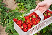 Freshly picked strawberries in a plastic basket