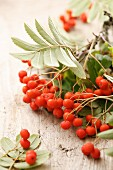 Sprigs of rowan berries