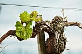 Junger Weintrieb in altem Rebstock
