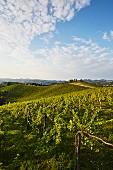 Weingarten in der Südsteiermark, Österreich