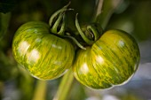 Two green tiger tomatoes hanging on the vine