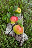 Three apples with leaves from orchard lying on piece of pear tree bark on grass