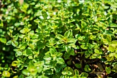 Oregano in sunshine