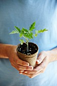 A mini tomato plant in a compostable pot