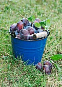 Freshly picked damons in a bucket on grass