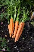 Organic carrots in a garden