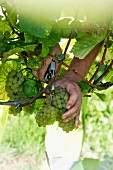 Grape harvest at the Franzen Vineyard, Bremm, Rhineland Palatinate, Germany (grape type pinot blanc)