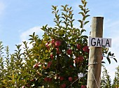 A Gala apple tree in an orchard